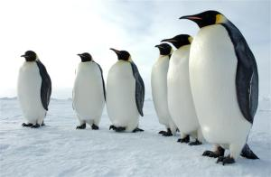 emperor-penguin-glenn-grant-national-science-foundation