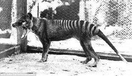 The Thylacine or Tasmanian Tiger
