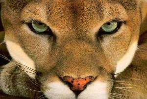Puma-Leão-da-Montnaha