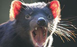 The Tassie Devil